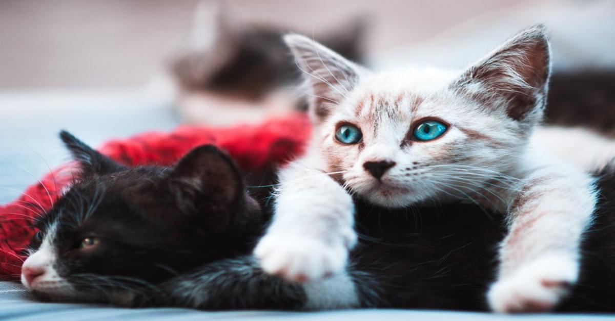 due gattini bianco e nero