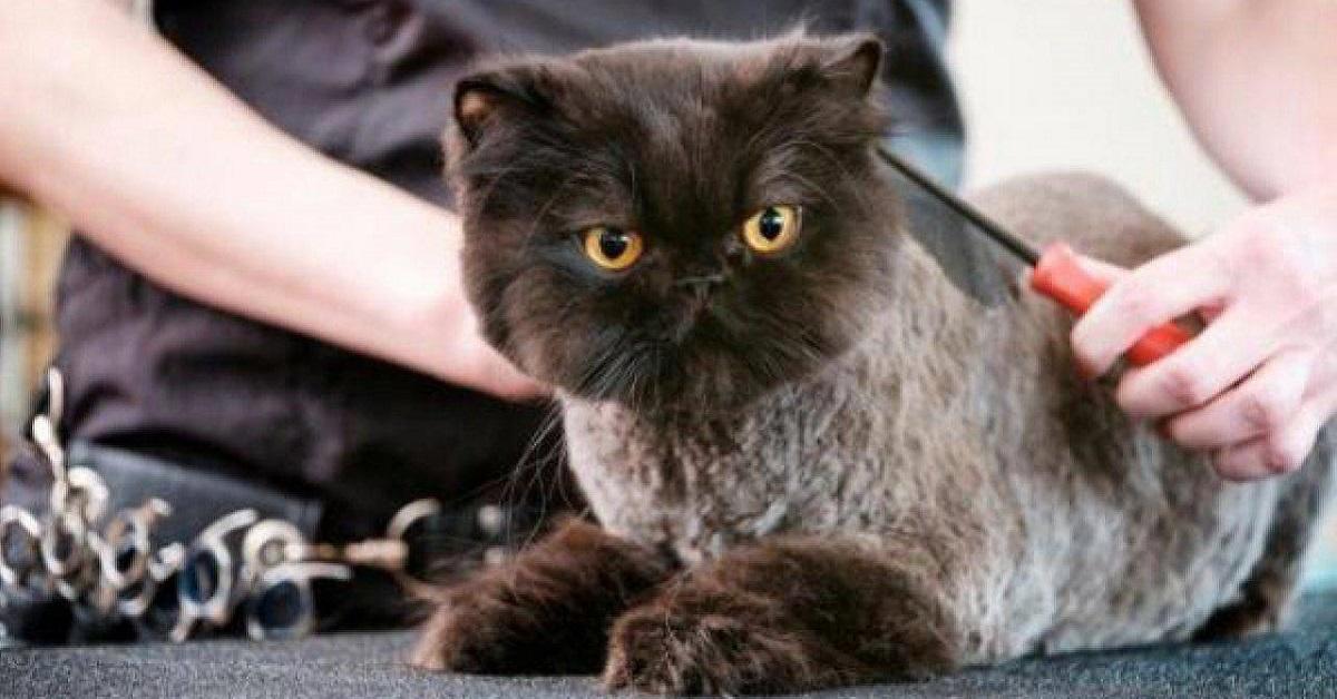 tosatura del gatto