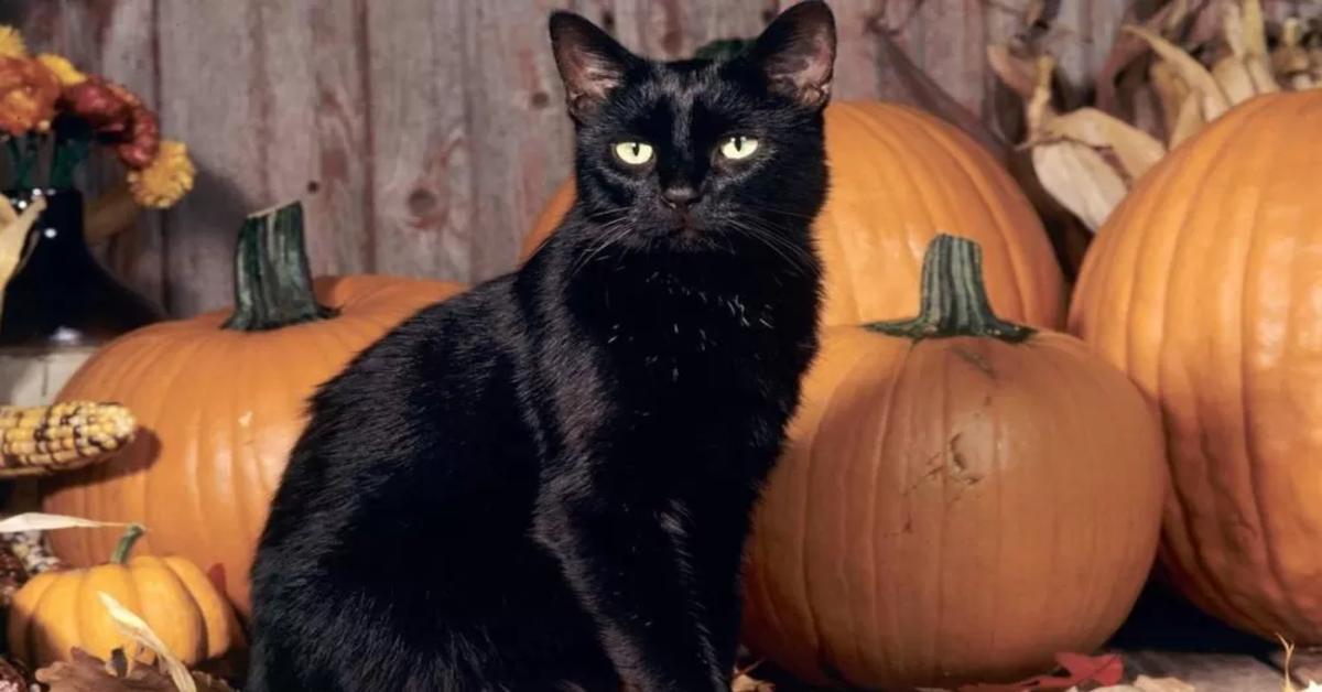 gatto nero con zucche