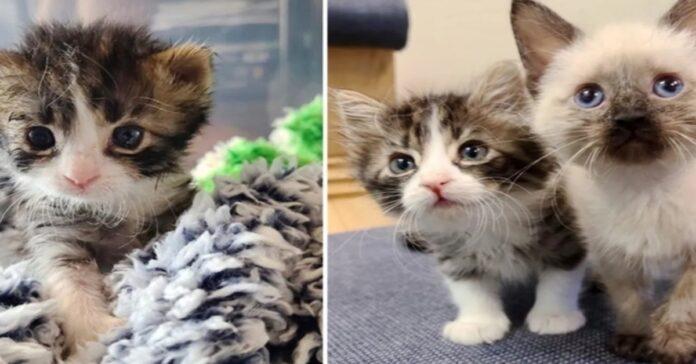gattino soriano con tre zampe