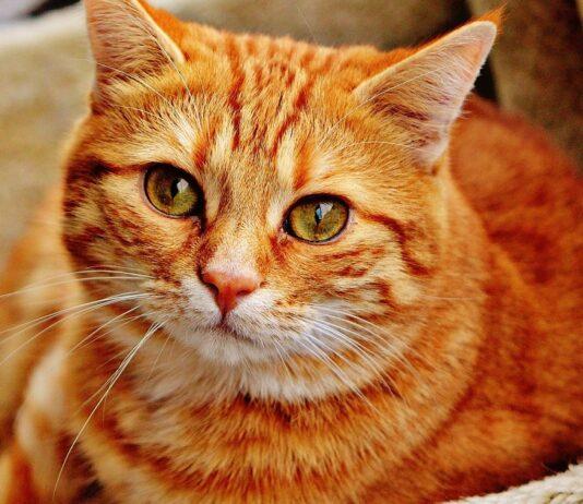 gatto rosso in sovrappeso