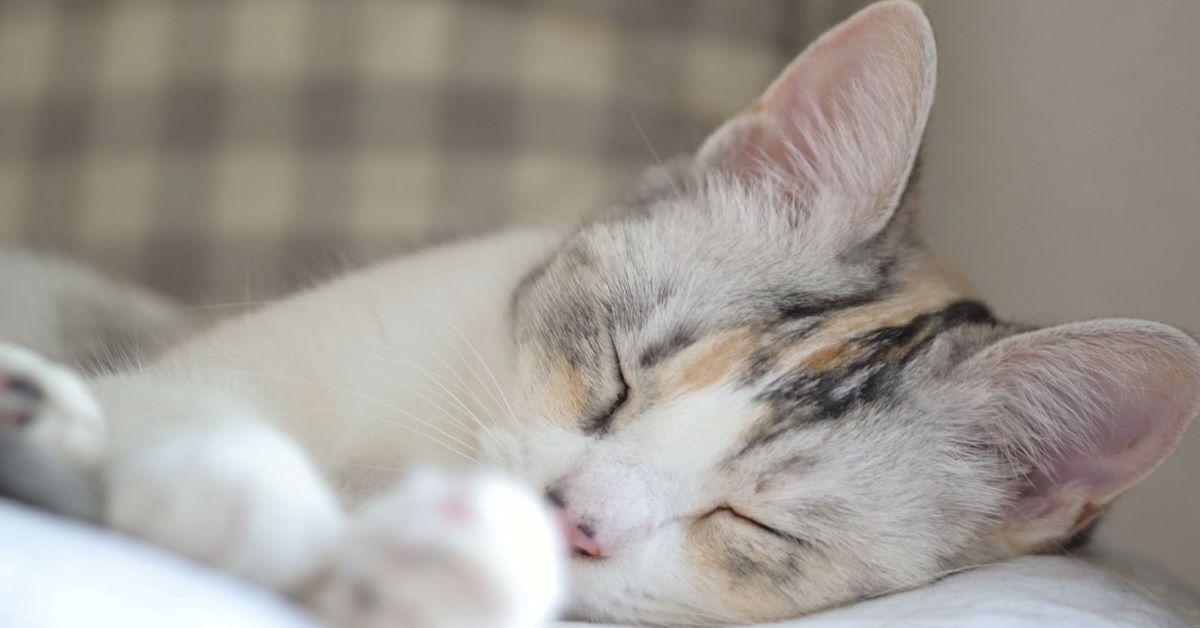 febbre nel gatto