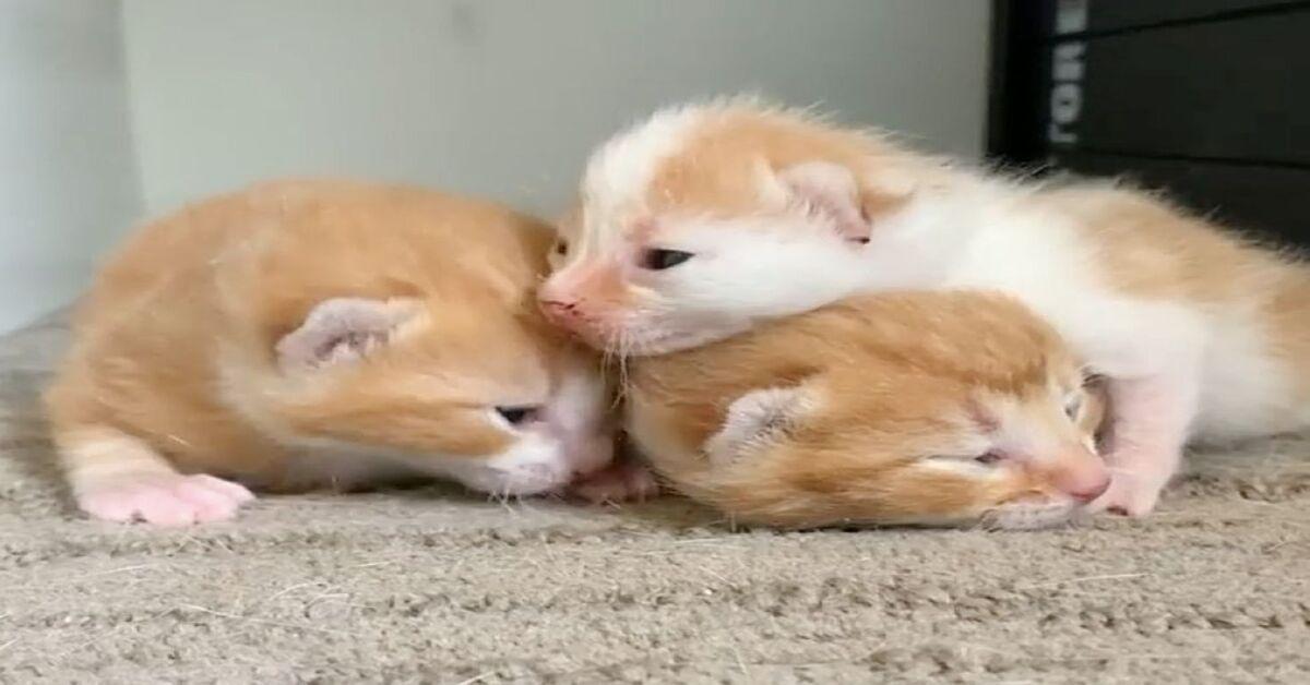 gattina calico cuccioli video