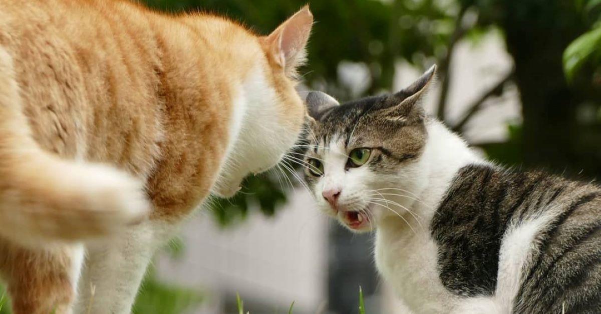 gatti rivali