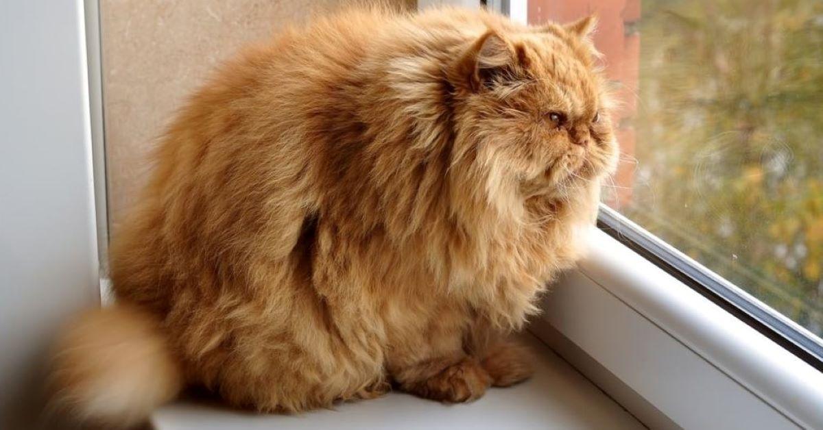 gatto grasso