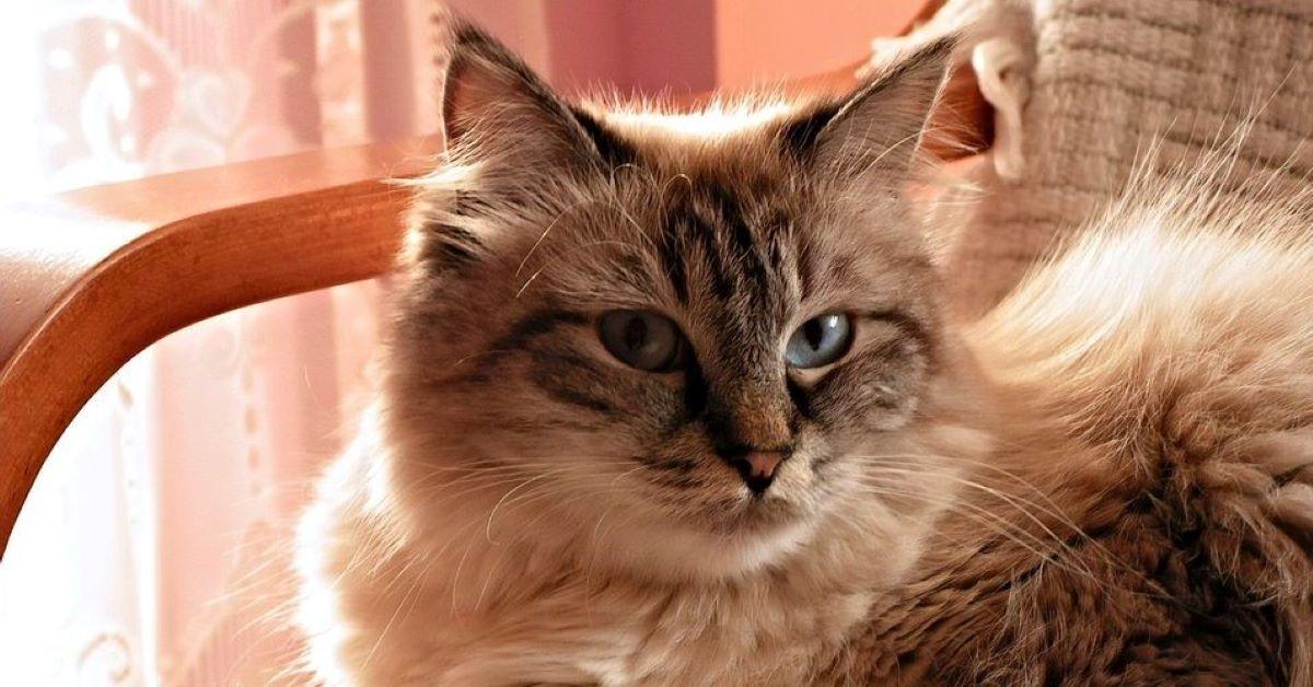 gatti con orecchie calde