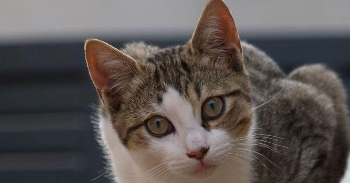 gatto con orecchie calde