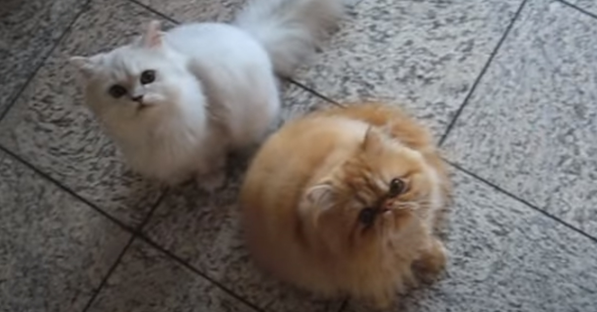 Gatti Persiani che guardano in alto