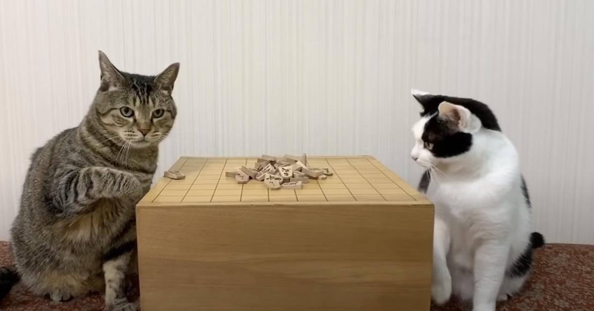 Gatti che giocano ad un gioco da tavolo