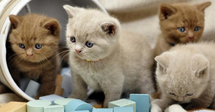 Gattini British Shorthair che osservano