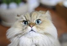 Gatto Persiano che osserva