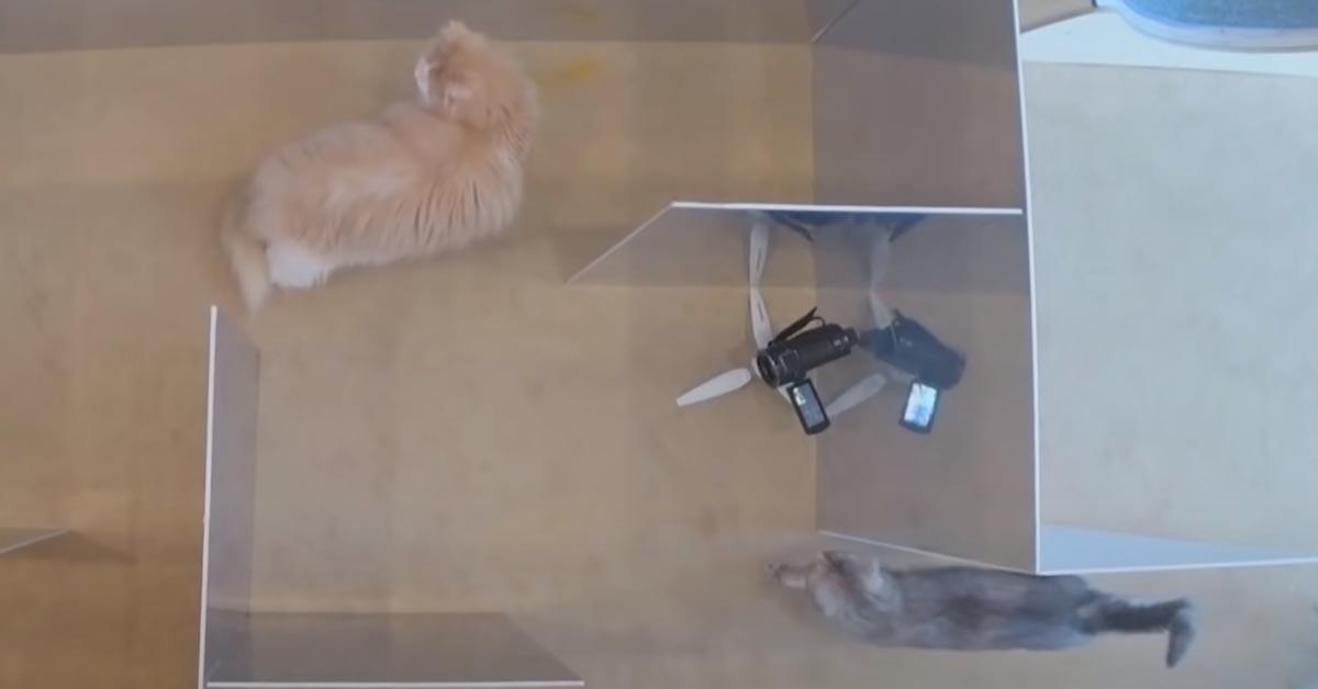 Gatti che affrontano un labirinto