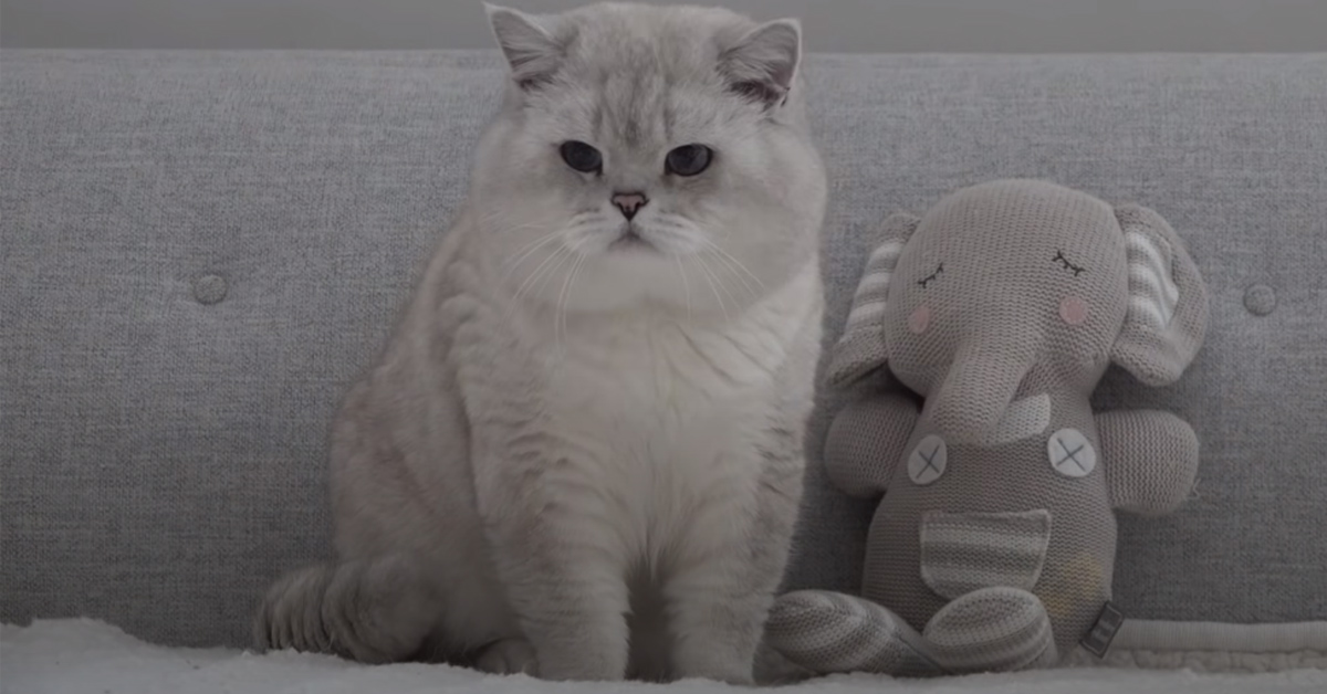 Gattino British Shorthair che osserva