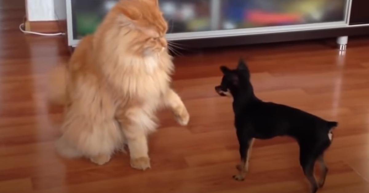 Gattino Maine Coon con un Chihuahua