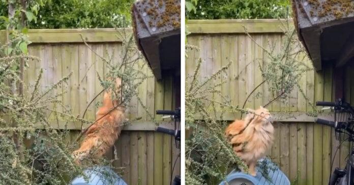 Gatto Maine Coon prova a scappare