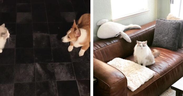Gattino Ragdoll che gioca con un cane Corgi