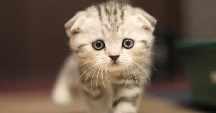 Gattino Scottish Fold che osserva