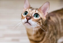 Gatto del Bengala che guarda in alto