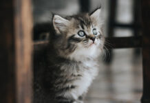 Gatto che guarda in alto