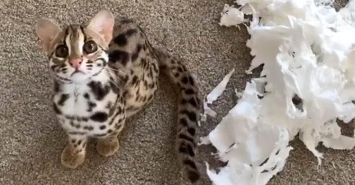 Gatto del Bengala ha distrutto il rotolo della carta igienica
