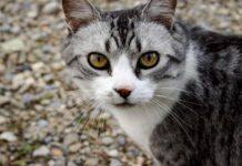 gatto concentrato