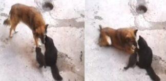 mamma gattina presenta i cuccioli al cane video
