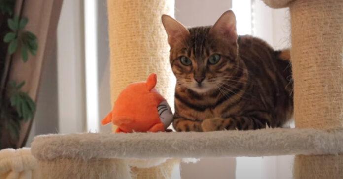 Gatto del Bengala che gioca