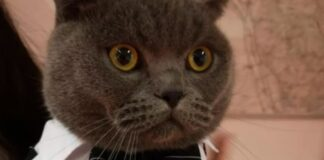 gattino Scottish Fold rapito