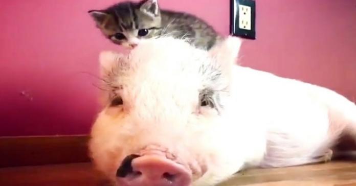 maialino con gatto in testa
