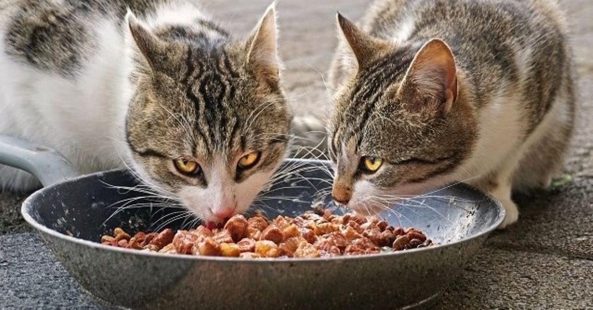 gatti randagi mangiano