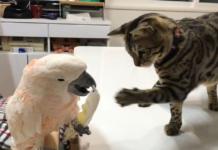 gattino e cacatua giocano insieme