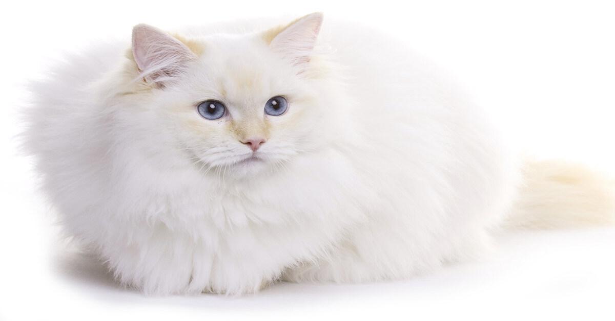 gattina bianca osserva