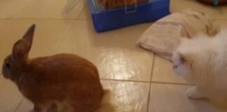 gattina Persiano gioca con un coniglietto