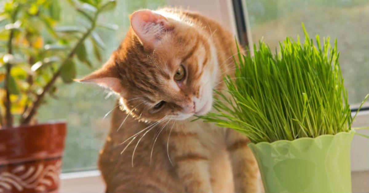 micio mangia erba gatta