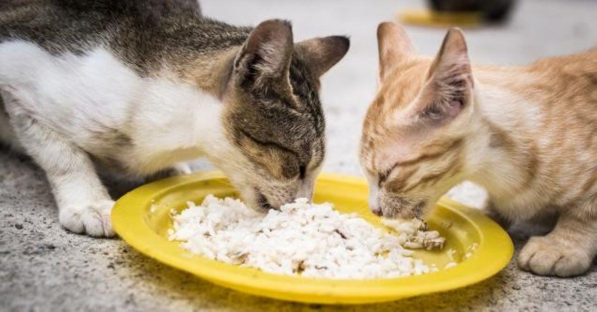 gatti mangiano riso