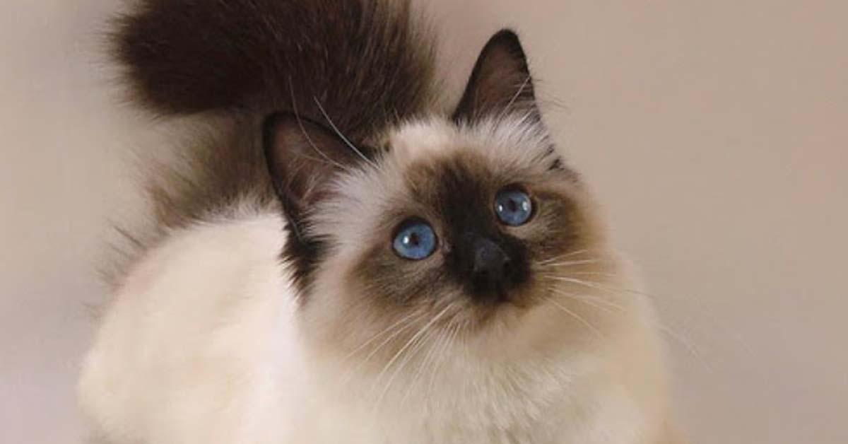 Gattino Himalayano che osserva