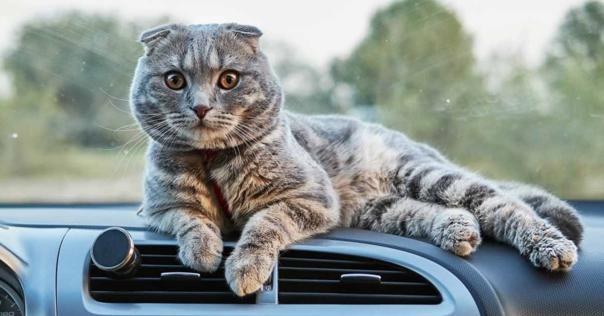 gatto su scruscotto della macchina