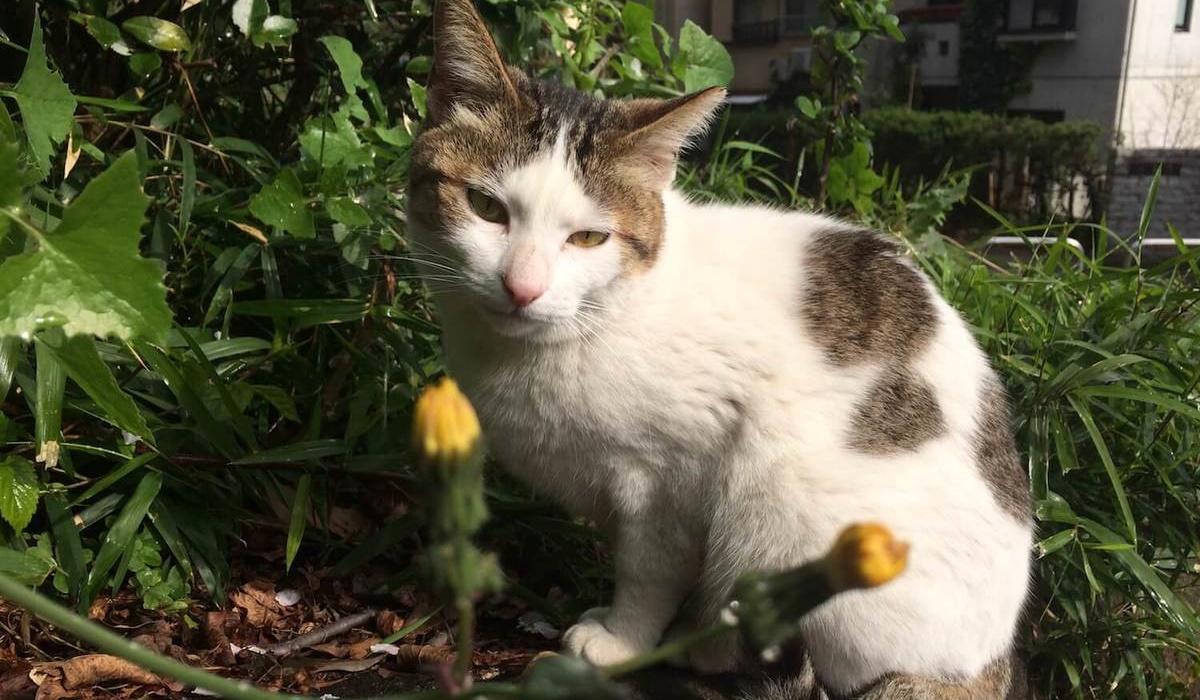 gatto bianco con le macchie marroni