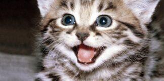 gattino che miagola
