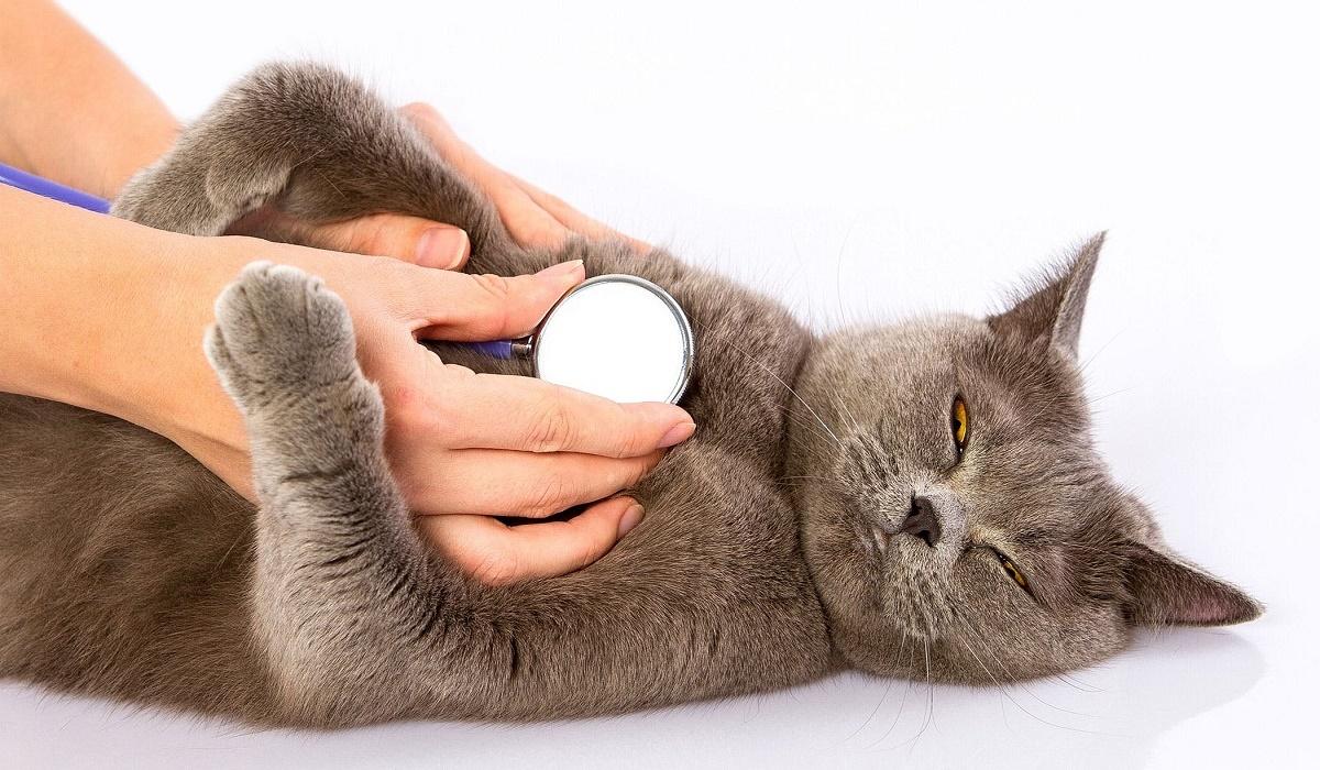 veterinario ausculta il cuore del gatto