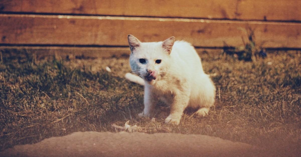 reflusso acido nel gatto