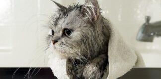 gatto dopo il bagnetto