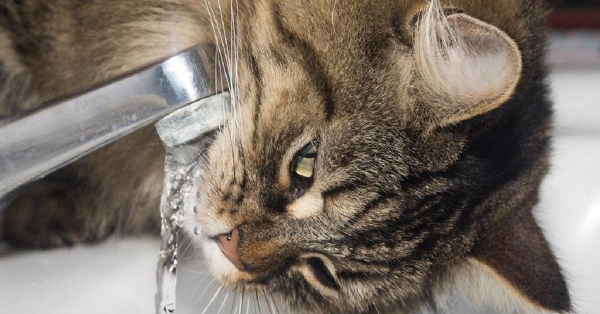 gatto beve dal rubinetto