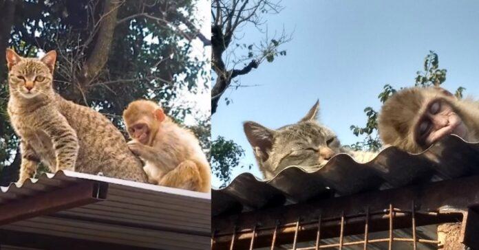 billo gattina migliore amica scimmietta diffcoltà