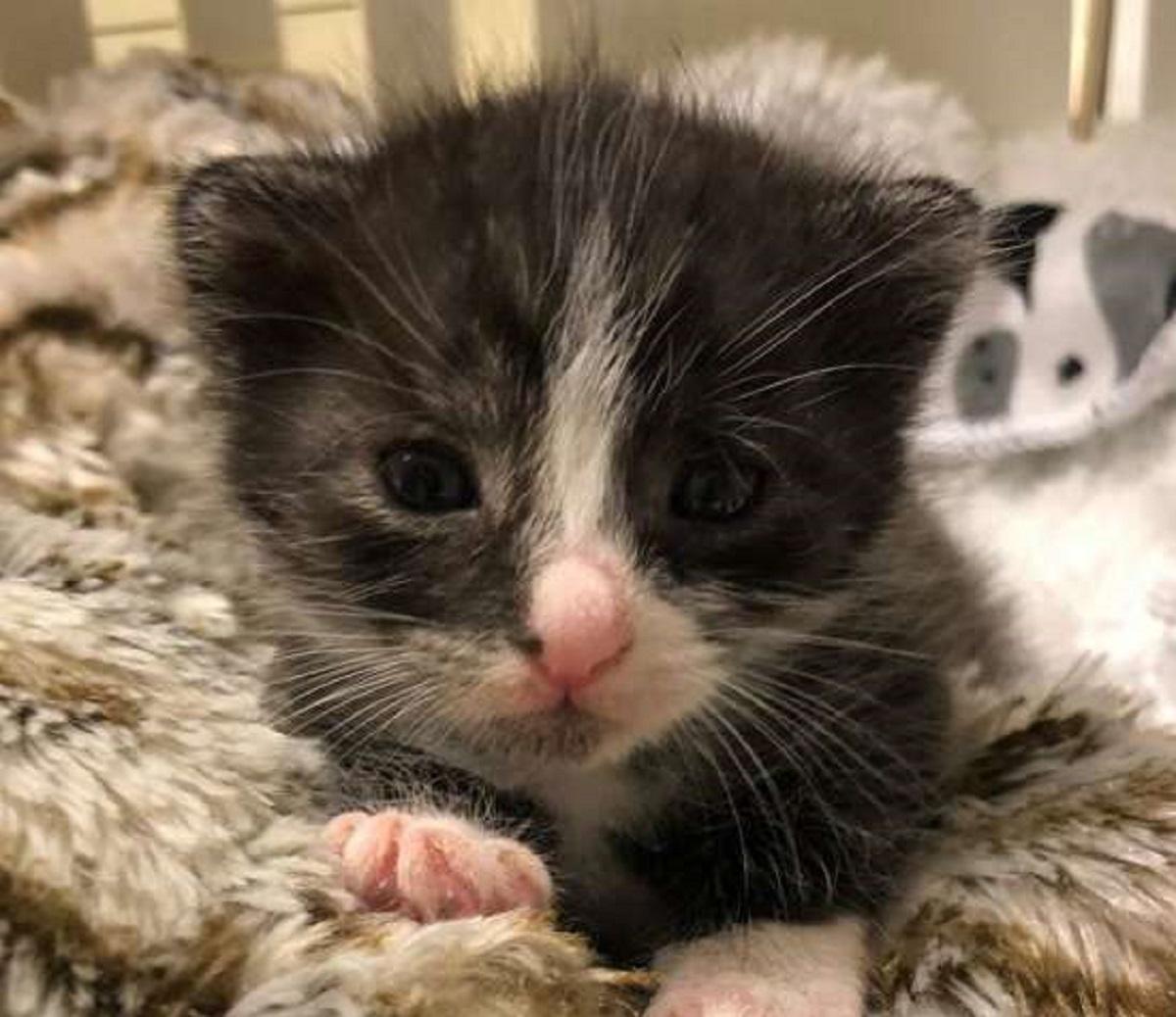 burberry gatta incontra ralph