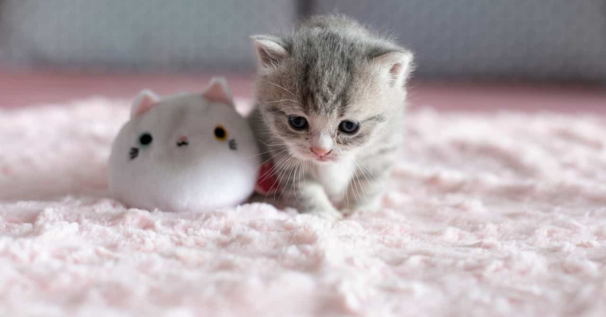 cucciolo di gatto con peluche