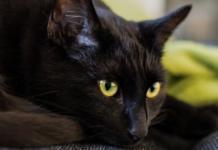 Gatto nero occhi verdi