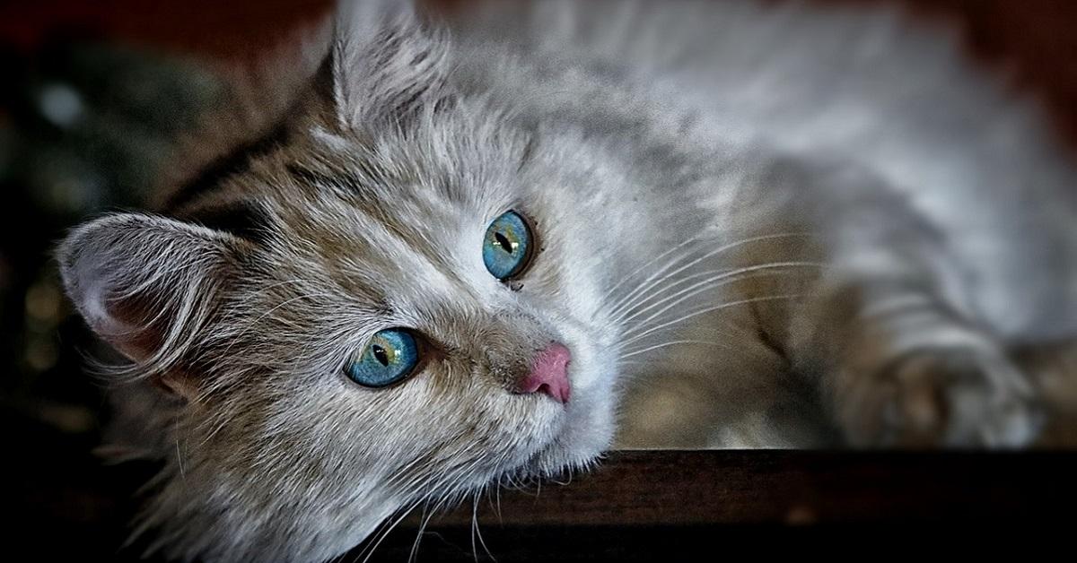 gatto con occhi chiari