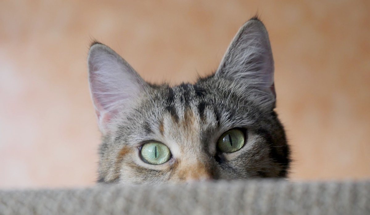gatto che si nasconde