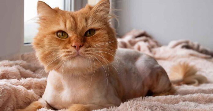 gatto arancione con il pelo tosato